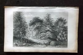 Rhind 1857 Antique Botanical Print. Pine Trees